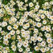 Camomile or ox-eye daisy meadow top view background — Stock Photo #6576987