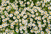 Camomile or ox-eye daisy meadow top view background — Stock Photo