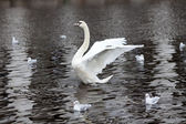 Swan trying to fly — Stock Photo