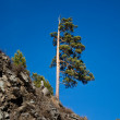 Stock Photo: Lone pine tree on the hill against the blue sky