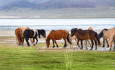 A herd of horses on the shore of Lake — Stock Photo