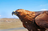 Steppe Eagle head close-up — Foto Stock