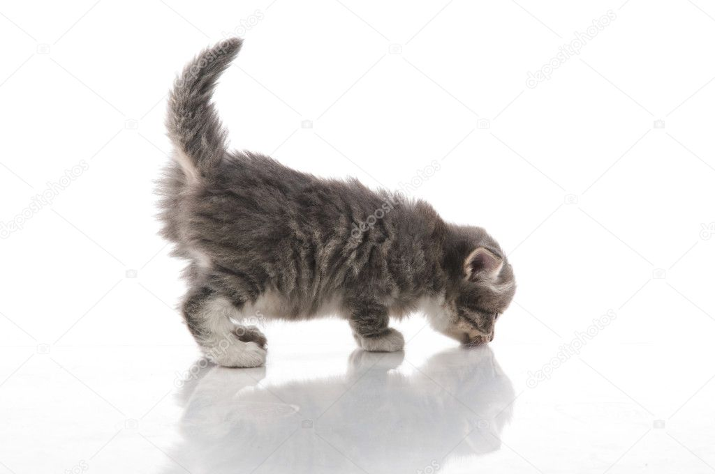 Little fluffy kitten makes the first steps  Stock Photo #5834768