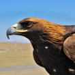 Stock Photo: Steppe Eagle head close-up