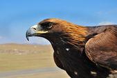 Steppe Eagle head close-up — Stock Photo