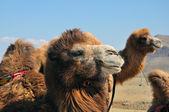 Camel close-up — Stock Photo