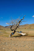 Old dead tree in Gobi Desert — Stock Photo