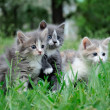 Little fluffy kittens playing — Stock Photo