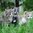 Stock Photo: Little fluffy kittens playing