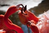 Dos flamencos luchando — Foto de Stock
