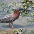 Little Green Heron — Stock Photo