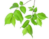 Branch of green leaves isolated — Stock Photo