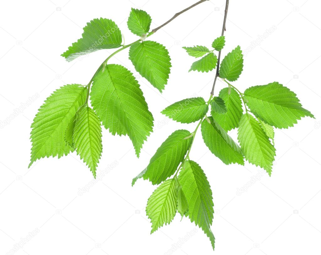 Branch of green leaves isolated on white background — Stock Photo #5632137
