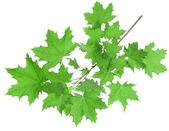 Esdoorn bladeren — Stockfoto
