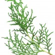 Stock Photo: Branch thuja