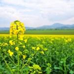 Flowering oilseed rape — Stock Photo