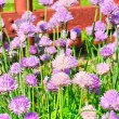Flowering chives — Stock Photo