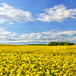 Stock Photo: Oil-seed rape panorama