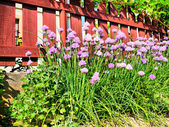 Clumps of chives — Stock Photo