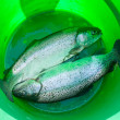 Stock Photo: Trout in a bucket