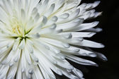 Aster flower macro on a black background — Stock Photo
