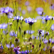 Stock Photo: Vintage cornflowers