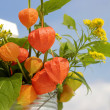 Orange lantern of physalis outdoor — Stock Photo #6498432