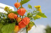 Orange lantern of physalis outdoor — Stock Photo