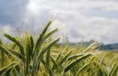 Gerst veld in de zomer — Stockfoto