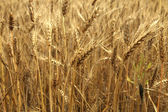 Wheat at the end of summer fully ripe — Stock Photo