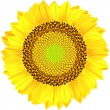 Sunflowers on a white background. Vector illustration. — Stock Vector
