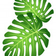 Stock Vector: Leaves of tropical plant - Monstera.