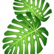 Leaves of tropical plant - Monstera. — Stock Vector