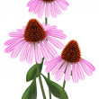Echinacea (purpurea)  on a white background. — Stock Vector