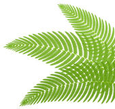 The green leaves of a fern. Vector illustration. — Stok Vektör