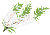 Melaleuca - tea tree. — Stock Vector