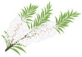 Melaleuca - tea tree. — Stock Vector