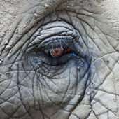 Eye of African Elephant — Stock Photo