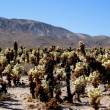 Cholla cacti in Mojave desert — Stock Photo