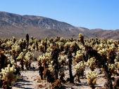 Cholla cacti in Mojave desert — Stock Photo