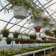 Inside commercial greenhouse with bedding plants — Stock Photo #5864019