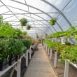 Stock Photo: Inside commercial greenhouse with bedding plants