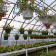 Inside commercial greenhouse with bedding plants — Stock Photo #5864023