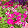 Stock Photo: Multi-colored blooming petunias background