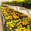 Inside commercial greenhouse with blooming marigold — Stock Photo