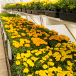 Inside commercial greenhouse with blooming marigold — Stock Photo #5864038