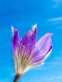 Pasque Flower close-up against blue sky — Stock Photo