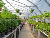 Inside commercial greenhouse with bedding plants — Stock Photo