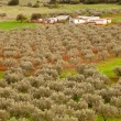 Greek Olive Orchard Farm - Foto Stock