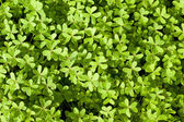 Fresh Spring Clover Background — Stock Photo